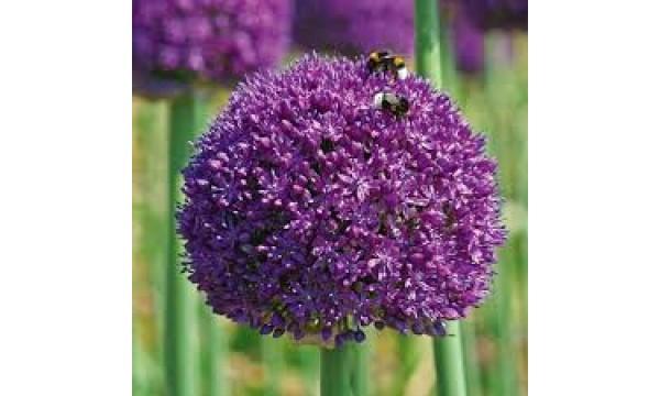 Česnakas dekoratyvinis (Allium) Ambassador
