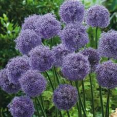 Česnakas dekoratyvinis (Allium) Gladiator