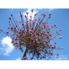 Česnakas dekoratyvinis (Allium) Spider