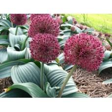 Česnakas dekoratyvinis (Allium) Karataviense