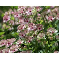 Astrancija (Astrantia major) Buckland
