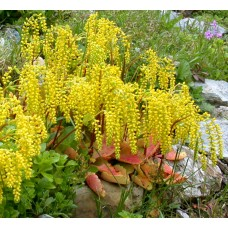 Saitma apskritalapė (Chiastophyllum oppositifolium)