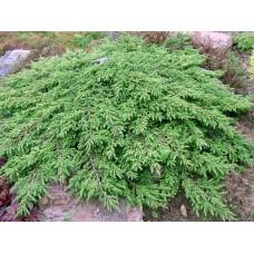 Kadagys paprastasis (Juniperus communis) Green Carpet