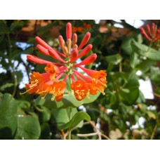 Sausmedis (Lonicera brownii) Dropmore Scarlet