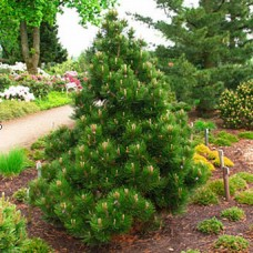 Pušis baltažievė (Pinus leucodermis) Malinki