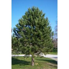 Pušis juodoji (Pinus nigra)