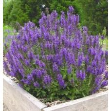 Šalavijas (Salvia nem.) Marcus