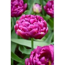 Tulpė (Tulip) Blue Diamond
