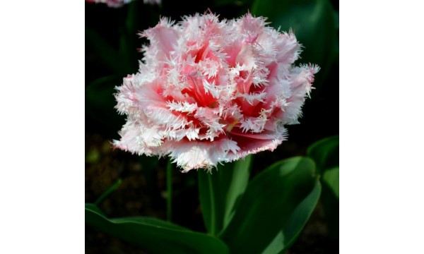 Tulpė (Tulip) Queensland