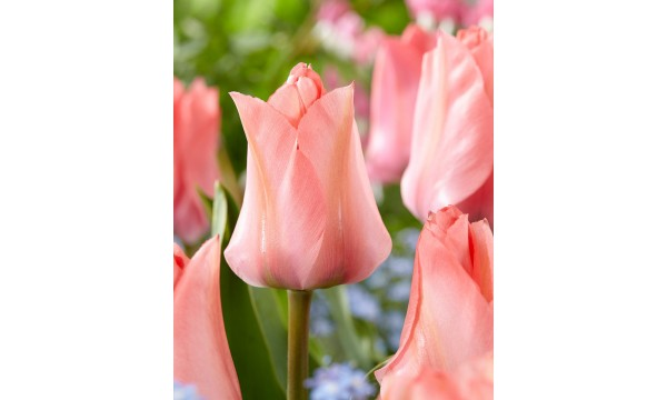 Tulpė (Tulip) Queenstown