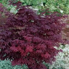Klevas plaštakinis (Acer palmatum) Atropurpureum