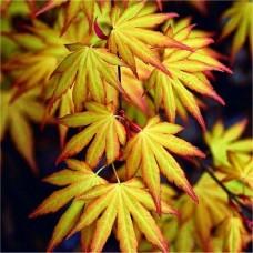 Klevas plaštakinis (Acer palmatum) Katsura