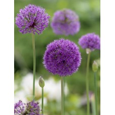 Česnakas dekoratyvinis (Allium) Aflatunense
