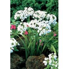 Česnakas dekoratyvinis (Allium) Cowanii