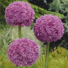 Česnakas dekoratyvinis (Allium) Giganteum