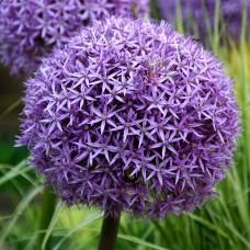 Česnakas dekoratyvinis (Allium) Globemaster