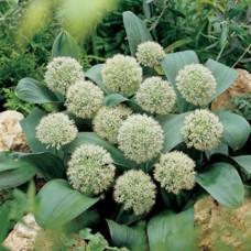 Česnakas dekoratyvinis (Allium) Karataviense Ivory
