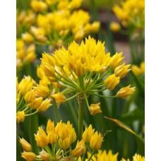Česnakas dekoratyvinis (Allium) Moly luteum