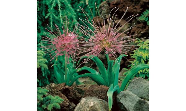 Česnakas dekoratyvinis (Allium) Schubertii