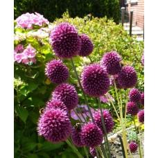 Česnakas dekoratyvinis (Allium) Sphaerocephalon