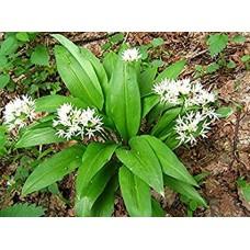 Česnakas meškinis (Allium ursinum)