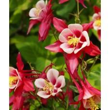 Sinavadas (Aquilegia) Crimson Star