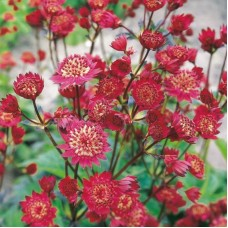 Astrancija (Astrantia major) Claret