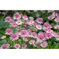 Astrancija (Astrantia major) Roma