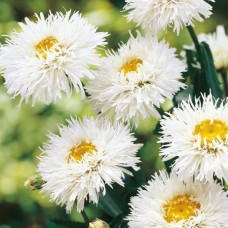 Baltagalvė (Leucanthemum) Maximum