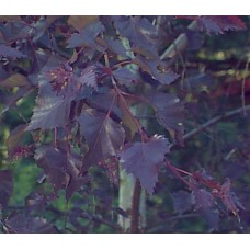 Beržas karpotasis (Betula pendula) Purpurea