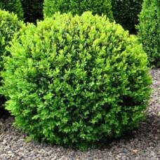 Buksmedis paprastasis (Buxus sempervirens)