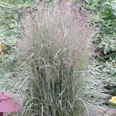 Lendrūnas (Calamagrostis) Overdam