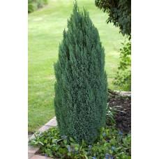 Puskiparisis lausono (Chamaecyparis lawsoniana) Ellwood's Pillar