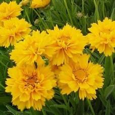 Gludas (Coreopsis) Sunray