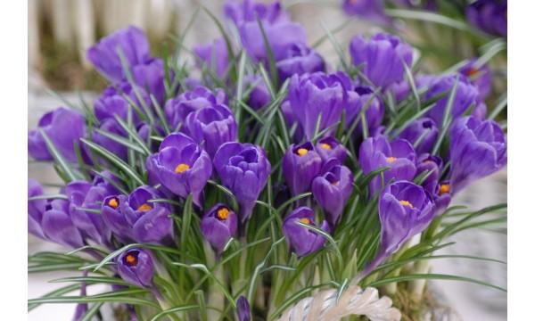 Krokai (Crocus) Flower record