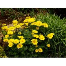 Laumenė rytinė (Doronicum caucasicum)