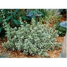 Ožekšnis fortūno (Euonymus fortunei) Emerald Gaiety