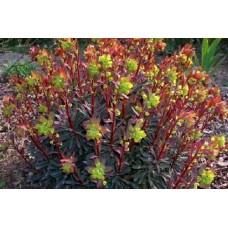 Karpažolė (Euphorbia) Purpurea