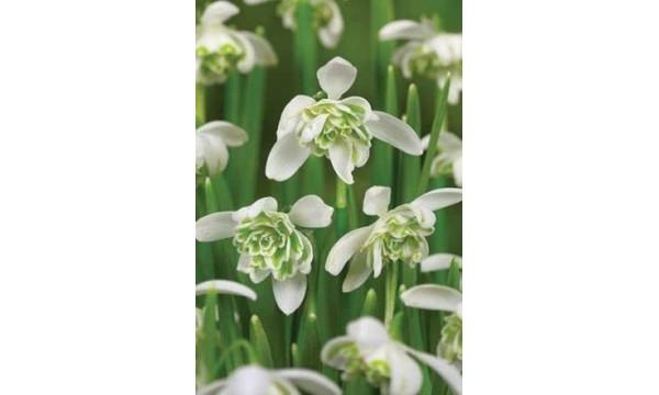 Snieguolė (Galanthus) Flore pleno