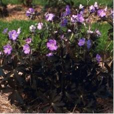 Snaputis (Geranium) Elizabeth Ann
