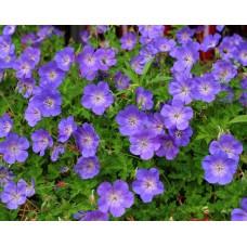 Snaputis (Geranium) Rozanne