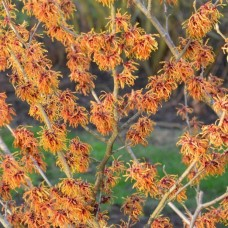 Hamamelis (Hamamelis) Orange Beauty