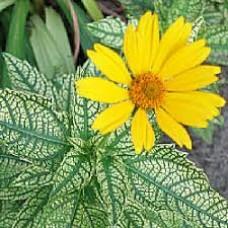 Saulakis (Heliopsis) Variegata