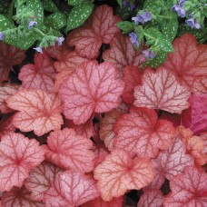 Alūnė (Heuchera) Georgia Peach
