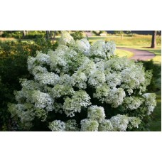 Hortenzija šluotelinė (Hydrangea paniculata) Bobo