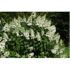 Hortenzija šluotelinė (Hydrangea paniculata) Levana