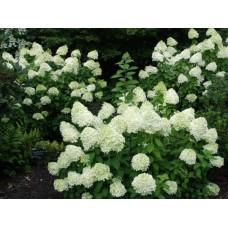 Hortenzija šluotelinė (Hydrangea paniculata) Limelight