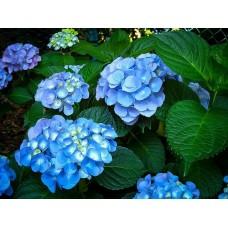 Hortenzija didžioji (Hydrangea macrophylia) Nikko Blue