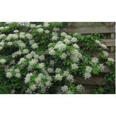 Hortenzija laipiojanti (Hydrangea petiolaris)