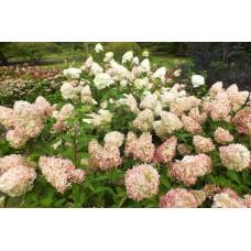 Hortenzija šluotelinė (Hydrangea paniculata) Phantom